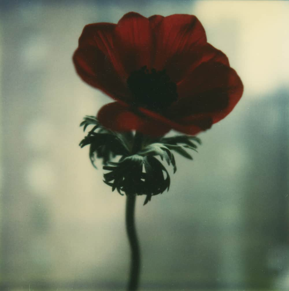Poppy in the Window - a Polaroid SX-70 by Harold Joe Waldrum